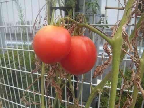 トマト小.jpg